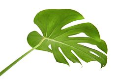 Monstera deliciosa leaf or Swiss cheese plant, isolated on white background, with clipping path. Monstera deliciosa leaf or Swiss cheese plant, Tropical foliage Stock Images