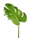 Monstera deliciosa leaf or Swiss cheese plant, isolated on white background. With clipping path Royalty Free Stock Photography