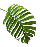 Monstera deliciosa leaf or Swiss cheese plant, isolated on white background. With clipping path Royalty Free Stock Images