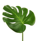 Monstera deliciosa leaf or Swiss cheese plant, isolated on white background. With clipping path Royalty Free Stock Photos