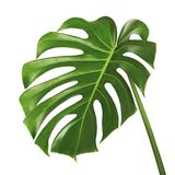 Monstera deliciosa leaf or Swiss cheese plant, Tropical foliage isolated on white background. With clipping path Royalty Free Stock Image