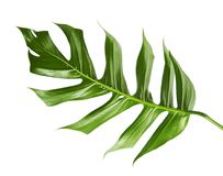 Monstera deliciosa leaf or Swiss cheese plant, Tropical foliage isolated on white background, with clipping path. Monstera deliciosa leaf or Swiss cheese plant Royalty Free Stock Photo