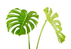 Monstera deliciosa leaf or Swiss cheese plant, Tropical foliage isolated on white background, with clipping path. Monstera deliciosa leaf or Swiss cheese plant Stock Photography