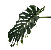 Monstera deliciosa leaf or Swiss cheese plant, Tropical foliage isolated on white background. With clipping path Royalty Free Stock Photos