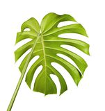Monstera deliciosa leaf or Swiss cheese plant, Tropical foliage isolated on white background. With clipping path Stock Images