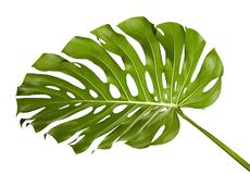 Monstera deliciosa leaf or Swiss cheese plant, Tropical foliage isolated on white background. With clipping path Stock Image