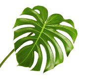 Monstera deliciosa leaf or Swiss cheese plant, Tropical foliage isolated on white background. With clipping path royalty free stock photo