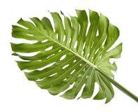 Monstera deliciosa liść lub Szwajcarskiego sera roślina, odosobniona na białym tle Obraz Stock