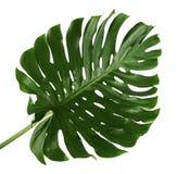 Monstera deliciosa liść lub Szwajcarskiego sera roślina, odosobniona na białym tle Fotografia Royalty Free