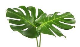 Monstera deliciosa liść lub Szwajcarskiego sera roślina, odosobniona na białym tle z ścinek ścieżką, Zdjęcia Stock