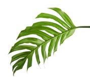 Monstera deliciosa liść lub Szwajcarskiego sera roślina, Tropikalny ulistnienie odizolowywający na białym tle z ścinek ścieżką, obraz royalty free