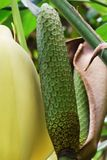 Monstera deliciosa. Is a tropical fruit called Phantom fruit Stock Image