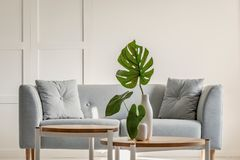 Monstera deliciosa på kaffetabellen och den gråa soffan i en enkel vardagsruminre royaltyfri foto