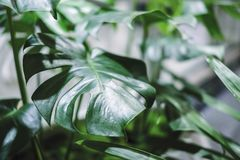 Monstera deliciosa or swiss cheese plant in pot t stock photo
