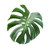 Monstera deliciosa tropical leaf isolated on white background. With clipping path Royalty Free Stock Images