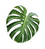 Monstera deliciosa tropical leaf isolated on white background. With clipping path Stock Image