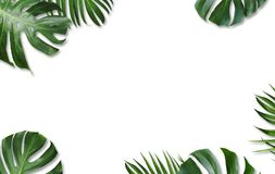Monstera deliciosa and yellow palm tropical leaves isolated. On white background Royalty Free Stock Photography