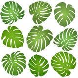 Monstera delle foglie verdi Fotografia Stock Libera da Diritti