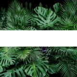 Monstera, fern, and palm leaves tropical foliage plants bush nature backdrop with white frame lay out on dark background.  royalty free stock photography