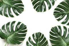 Monstera foliage as border on white. Isolated with copy space. Summer frame for design. Flat lay. Top view royalty free stock photo