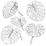 Monstera Fronds Sketch. Hand drawn branches and leaves of tropical plants. Monstera fronds sketch Royalty Free Stock Photos