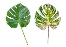 Monstera green leaf Disease illness pain cancer concept. Monstera green leaf isolated on white background. Disease illness pain cancer concept stock photography