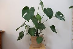 Monstera royalty-vrije stock foto