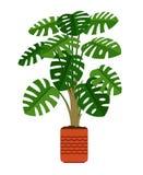 Monstera houseplant in ceramic pot Stock Image