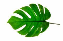 Monstera lässt Blätter mit Isolat auf weißen Hintergrund Blättern auf Weiß lizenzfreies stockfoto