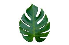 Monstera lascia le foglie con l'isolato sulle foglie bianche del fondo su bianco Fotografia Stock