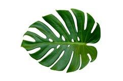 Monstera lascia le foglie con l'isolato sulle foglie bianche del fondo su bianco Immagini Stock Libere da Diritti