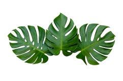Monstera lascia le foglie con l'isolato sulle foglie bianche del fondo su bianco Fotografia Stock Libera da Diritti