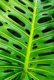 Monstera leaf. Closeup of a green monstera leaf showing its typical holes Stock Photography