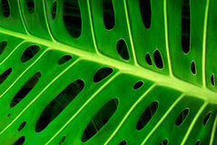 Monstera leaf. Closeup of a green monstera leaf showing its typical holes Stock Images