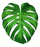 Monstera leaf. Big green leaf of Monstera plant, isolated on white Royalty Free Stock Photos