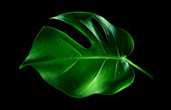 A Monstera leaf. A single Monstera leaf on black background stock photo