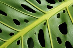 Monstera leaf Royalty Free Stock Photography