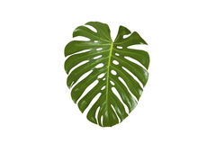 Monstera leaf Stock Images