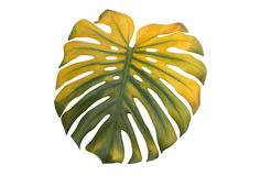 Monstera leaf. Big green and yellow leaf of Monstera plant, on white Stock Photography