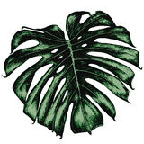 Monstera leaf on a blank background Royalty Free Stock Photos