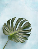 Monstera leaf Royalty Free Stock Photos