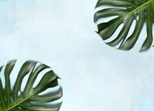 Monstera leaf Royalty Free Stock Image