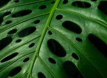 Monstera Leaf closeup photo. Monstera Leaf closeup macro horizontal photo shot Stock Photo