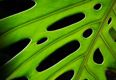 Monstera leaf detail Stock Photos