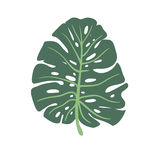 Monstera leaf green isolated on a white background. Hand drawn big leaf of tropical plant. Vector illustration. Stock Photos