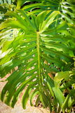 Monstera Leaf Monstera deliciosa. Monstera deliciosa is a species of flowering plant native to tropical rainforests of southern Mexico, south to Panama Stock Photo