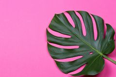 The monstera leaf Stock Image