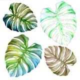 Monstera leaf. Watercolor drawing. Botany. Isolated object on white background vector illustration