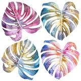 Monstera leaf. Watercolor drawing. Botany. Isolated object on white background royalty free illustration