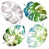 Monstera leaf. Watercolor drawing. Botany. Isolated object on white background stock illustration
